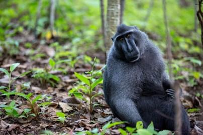 2-tangkoko-sulawesi-black-macaques
