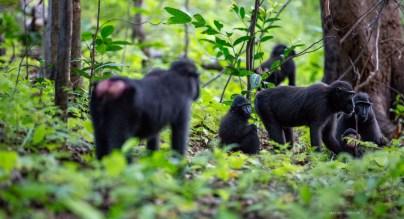 2-tangkoko-5--sulawesi-black-macaques