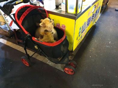 Taiwan dogs in a pram