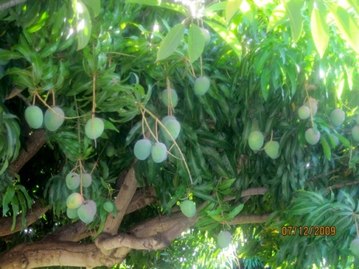 A closer look at the mangoes