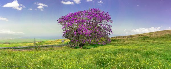 Jacaranda Tree Upcountry Maui 14