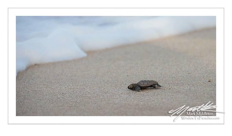 Baby Hawksbill Turtle 2
