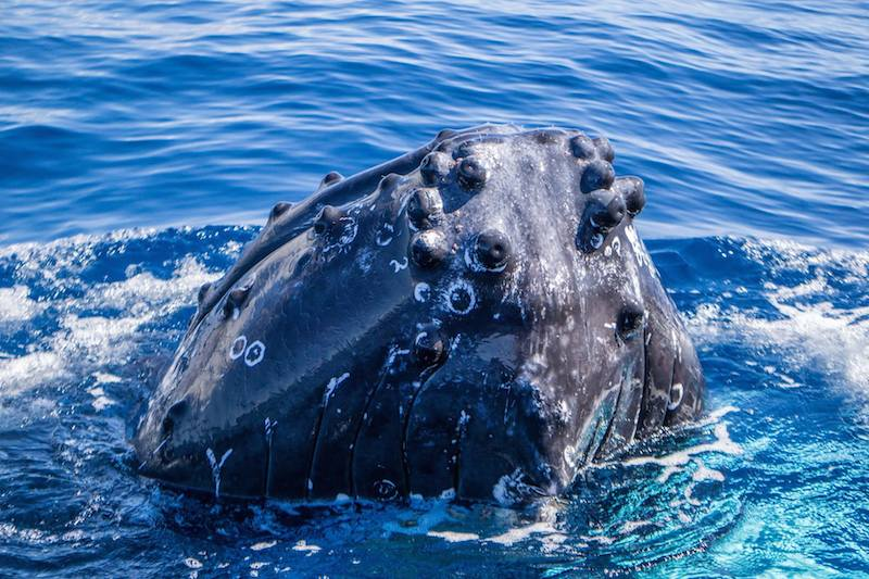 Oh, Hello Humpback Whale!