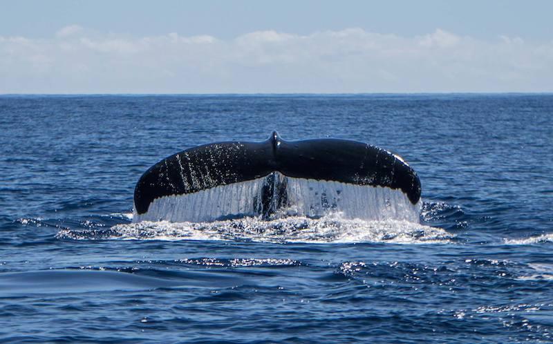 Humpback whales on Maui - whale tail