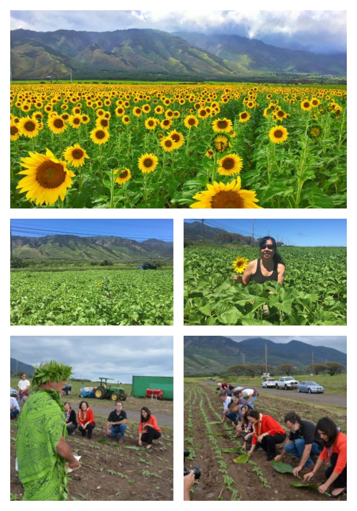 beginnig-of-sunflowers-on-maui