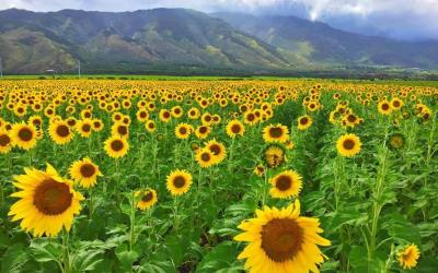 Dancing Sunflowers on Maui Now Has 11 Million Views