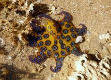 Blue Ringed octopus Western Australia electric blue rings.
