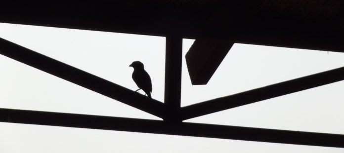 Some little swallows perched on the rafters in Cambodia. Do not be fooled by their cuteness!