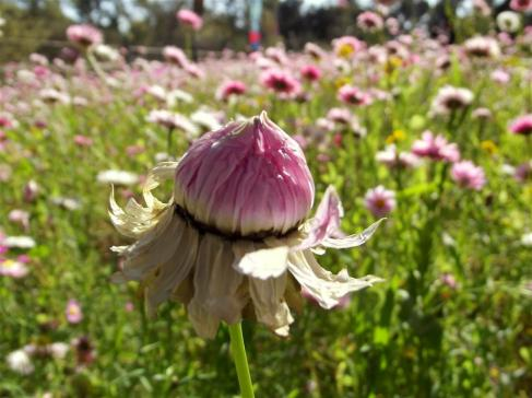 """These native Western Australian wildflowers are called """"Everlastings"""" because their paper like petals can stay pretty even when they are dried."""