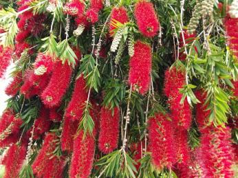 """This amazing Australian native plant, prosaically named the """"Bottlebrush"""" blooms prolifically each year and then gets torn to shreds by parrots. It is the Australian way."""
