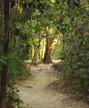 A sandy pathway through the rubber trees leads to a thicket of bamboo in Vietnam.