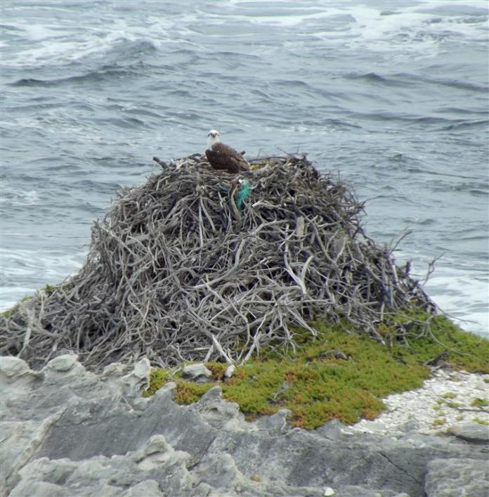 On a rocky outcrop in the ocean this wonderful sea eagle sits atop its amazing nest of driftwood.