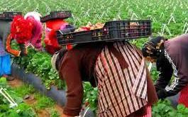 عاملات الفراولة باسبانيا