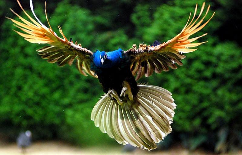 Amazing Flying Peacock