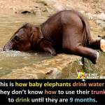 baby elephants drink water