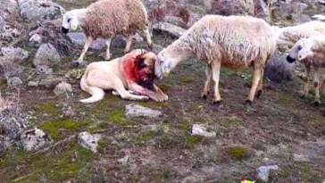 Sheep shows gratitude towards dog