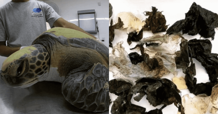 A rescued green turtle pooped out plastic trash for a week