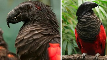 Meet The Glorious Dracula Parrot That Can Only Be Found In New Guinea
