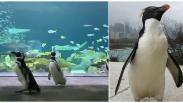 With the Aquarium Closed to Humans, Penguins Take the Opportunity to Explore and Visit Other Animals