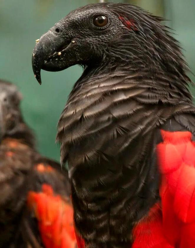 famous species dracula parrots is family of grey parrot