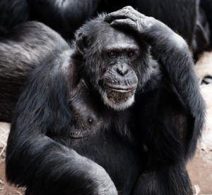 chimp scratching head- Start selling on amazon
