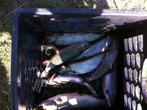 Eight brookies for the frying pan