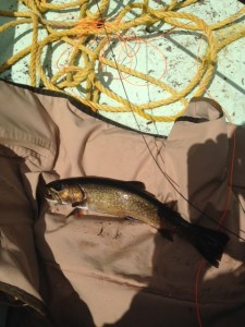 This native brookie fell for a brown woolly bugger