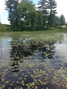 This part of the pond is chocked with these tiny lilypads that provides great habitat for the largemouth bass