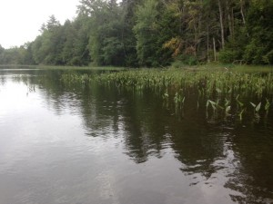 A typical view of the vegetation along the shoreline of Beaver Pond