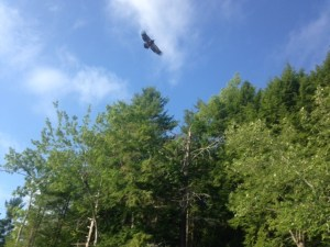 The next generation of bald eagles is taking to the skies. What a bonus!
