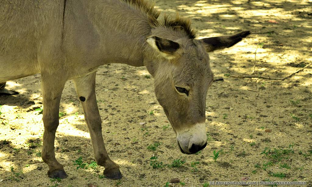 The trees inside the Mannar Fort is a haven for the Donkeys of Mannar