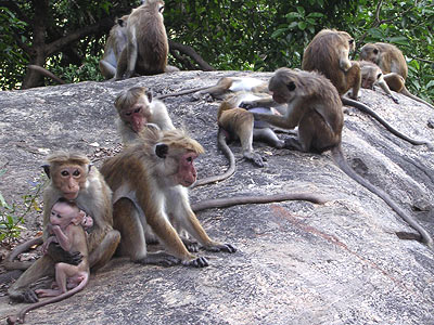 Monkeys at Ritigala