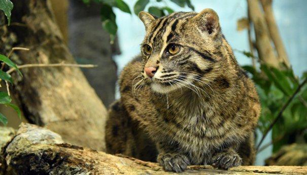 A fishing Cat