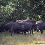 A passel of wild boars at Kumbuk Vila @ Wilpattu National Park