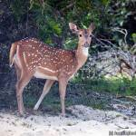 A spotted dear at the Kokare Vila in Wilpattu National Park