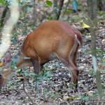 A Hog Deer near Kumbuk Vila — @ Wilpattu National Park