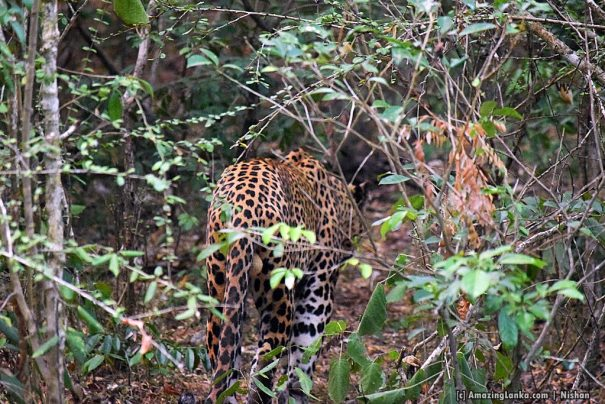Two leopards hiding inside a thicket very close to the Galge Entrance of the Lunuamvehera National Park seen at about 6.30 AM
