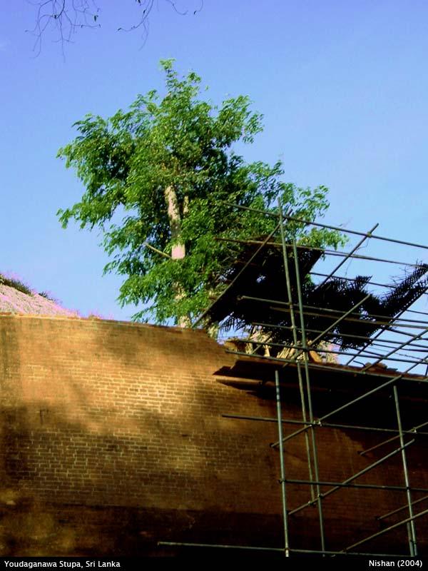 Trees grown inside the Yudaganawa Stupa