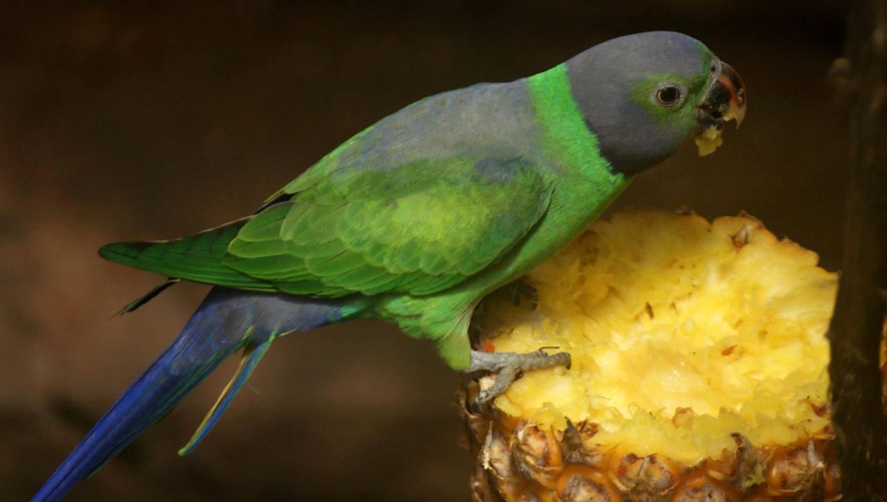 Layard's parakeet (Alu Girawa)
