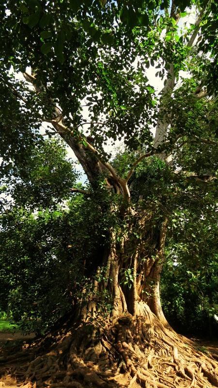 The bo tree at Kuragala Galtemyaya