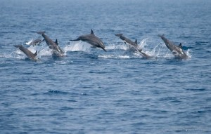 A pod of spinner dolphins leaping out of the water about 15km off the fisheries harbor, Mirissa
