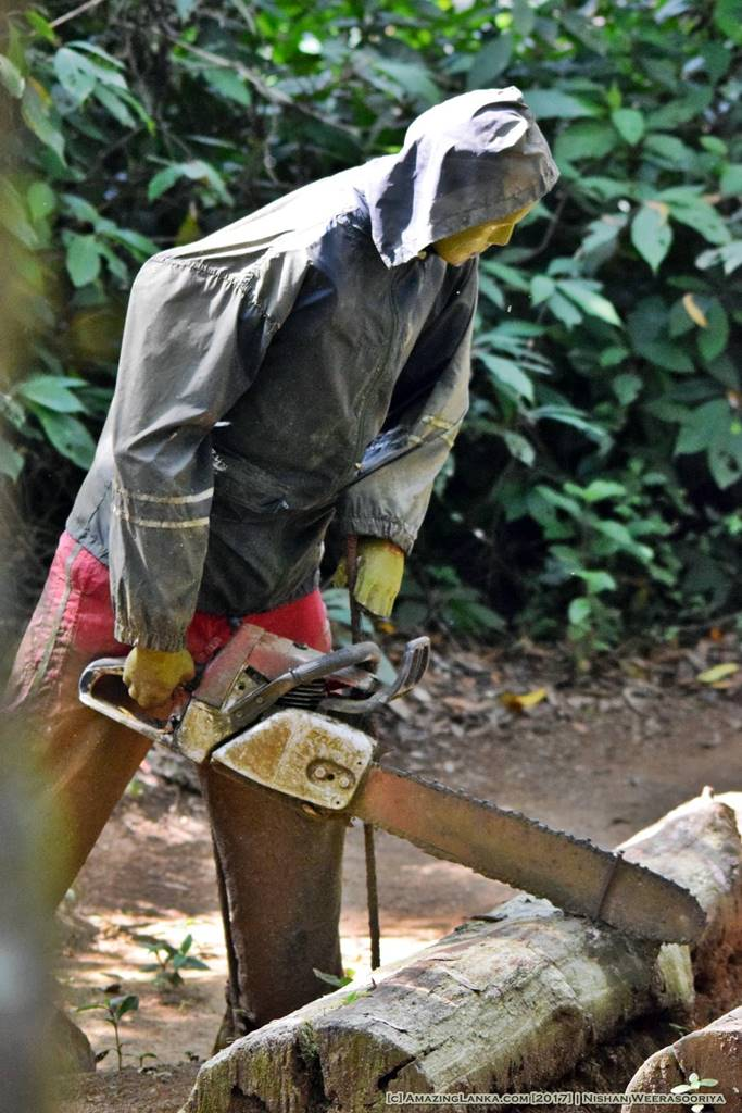 Cutting down trees - At the Kande Ela Forest Park