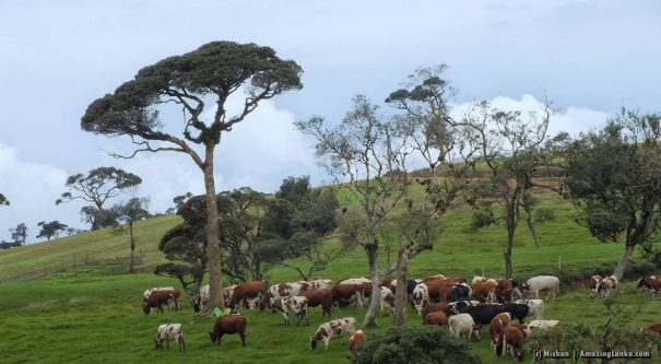 The landscape and the roaming cows of Ambewela New Zealand Farm