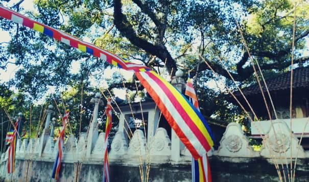 The ancient Bodhi tree of the Makura Purana Rajamaha Viharaya