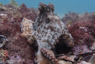 Scientists Come Up With Octlantis-An Underwater 'City' Built By Octopuses