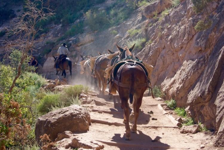 Bright Angel Trail, Grand Canyon. Muldyr transporter bagage op og ned for overnattende gæster i bunden af kløften