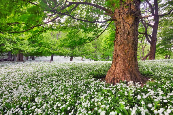 Tree in white flowers meadow beauty forest landscape