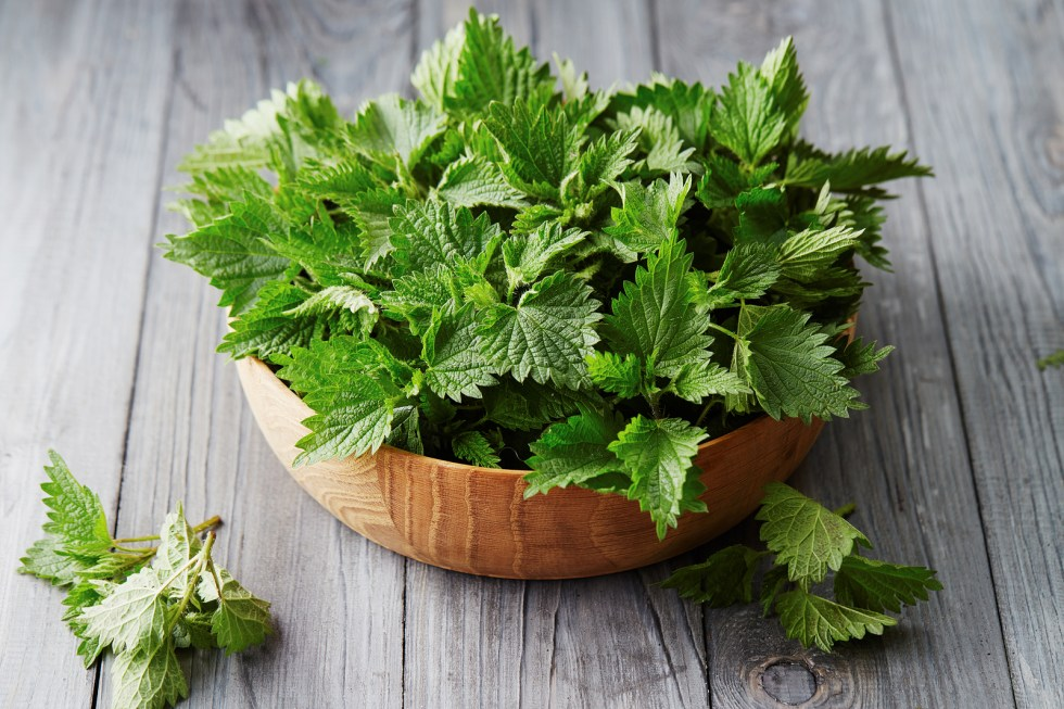 Fresh stinging nettle leaves in a bowl on wooden table