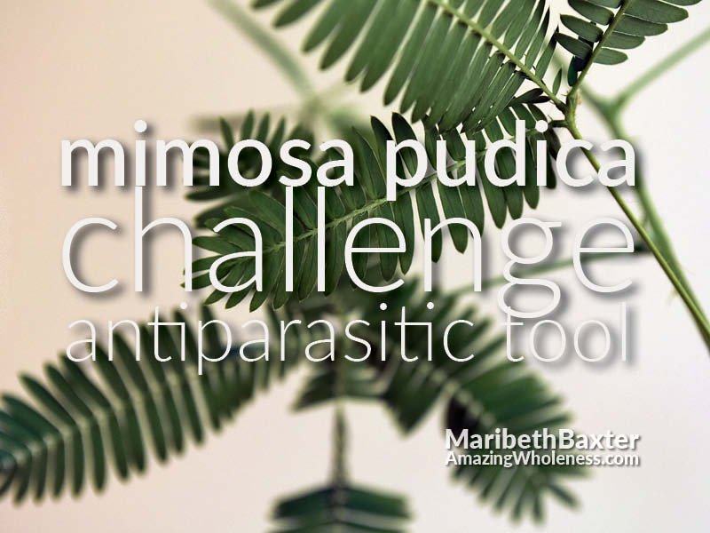 Mimosa Pudica Seed Challenge