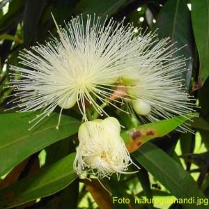 Syzygium (Rosenapfel)